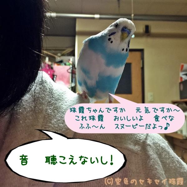 肩の上でお喋り  空色のセキセイ珠霞