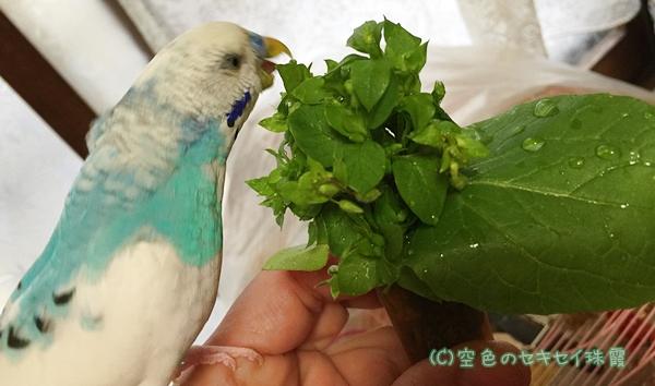 自家製ハコベを食べる珠霞   空色のセキセイ珠霞