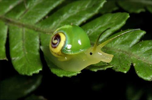 Noot Noot Snail