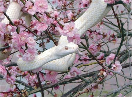 シロヘビと紅梅
