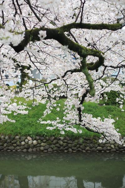 ame no sakura (2)