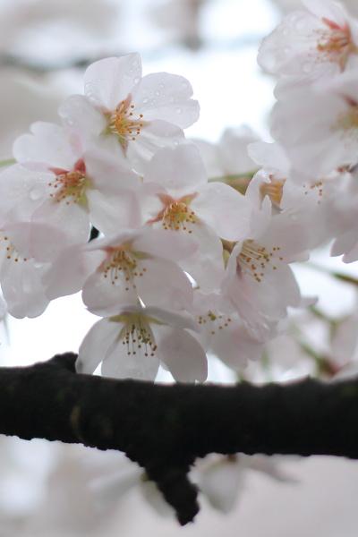 ame no sakura (1)