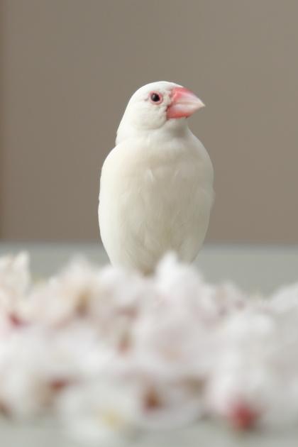 tannjouzuki no oiwai (3)