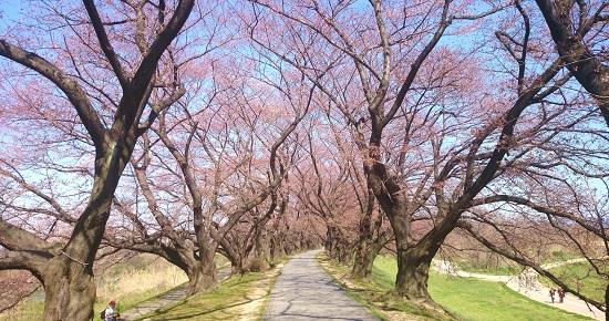 背割の奥は桜が開花