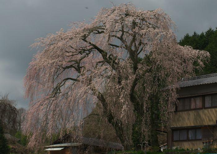 15-4-4-1釜屋のしだれ桜