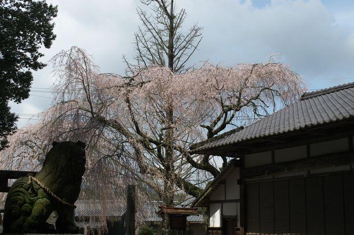 15-4-5-1神明神社しだれ桜
