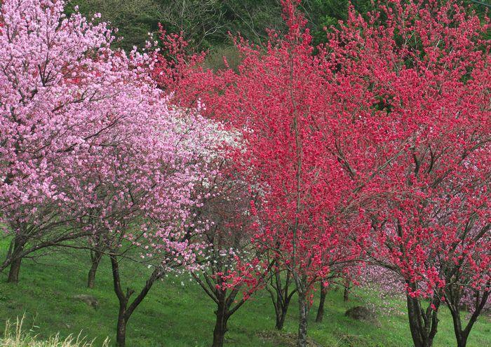 15-4-10-1花桃の木