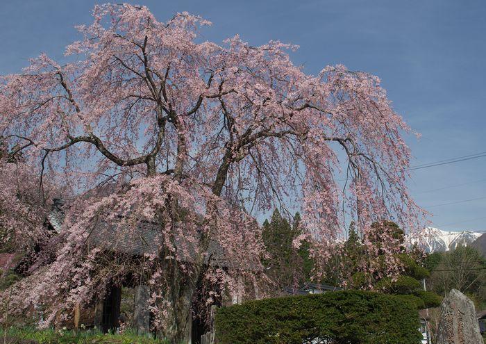 15-4-14-1光前寺しだれ桜