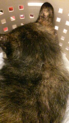 エリザベスカラー猫さん