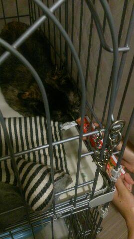 エリザベスカラー猫・シバハラ