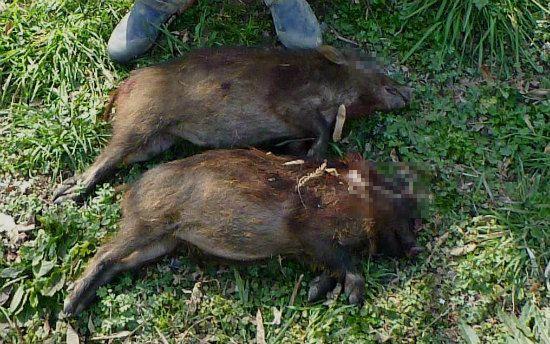 2015.03.04見えない猪2