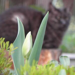 チューリップのツボミと猫
