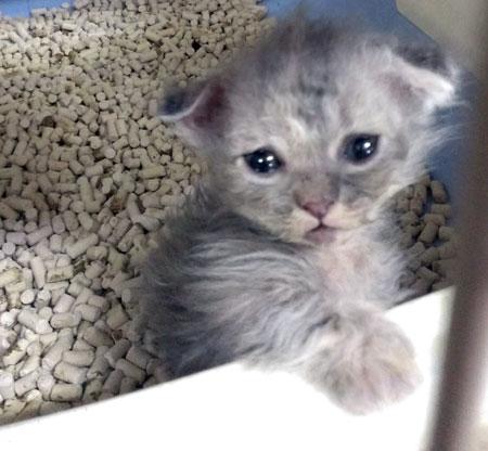 ミックスの子猫