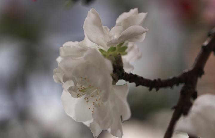 咲き分けの桃-309