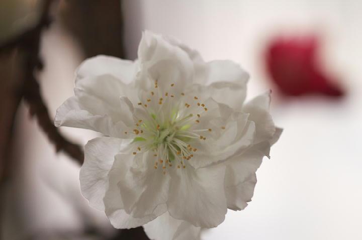 咲き分けの桃-310