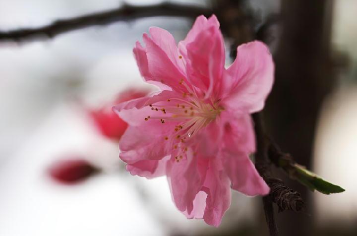 咲き分けの桃-316