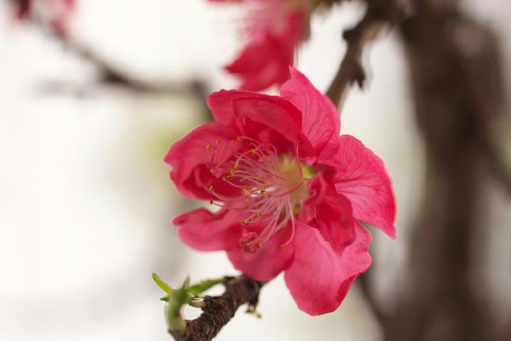 咲き分けの桃-314