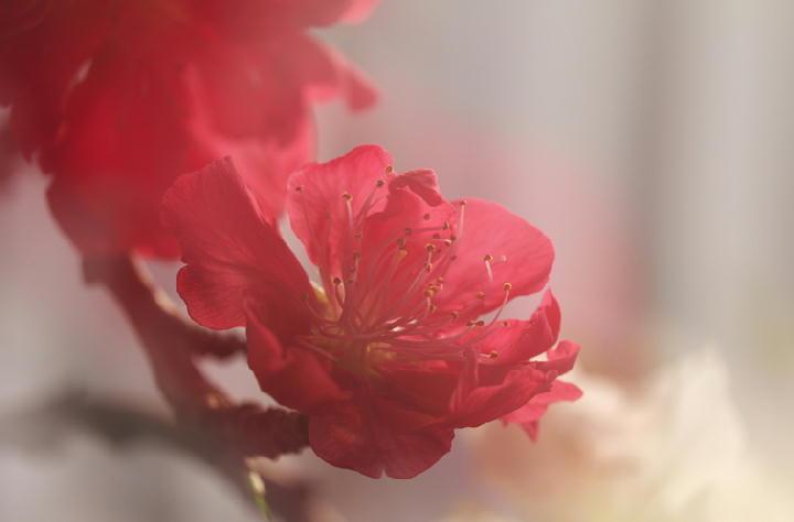 咲き分けの桃-330