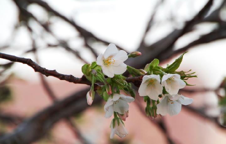 狩野川の桜-789