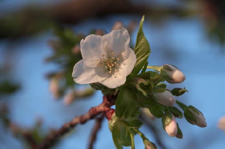 今年一番の桜-814