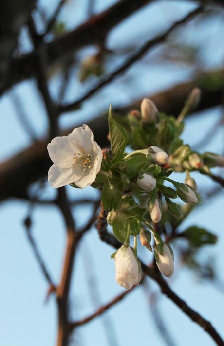 狩野川の桜-809