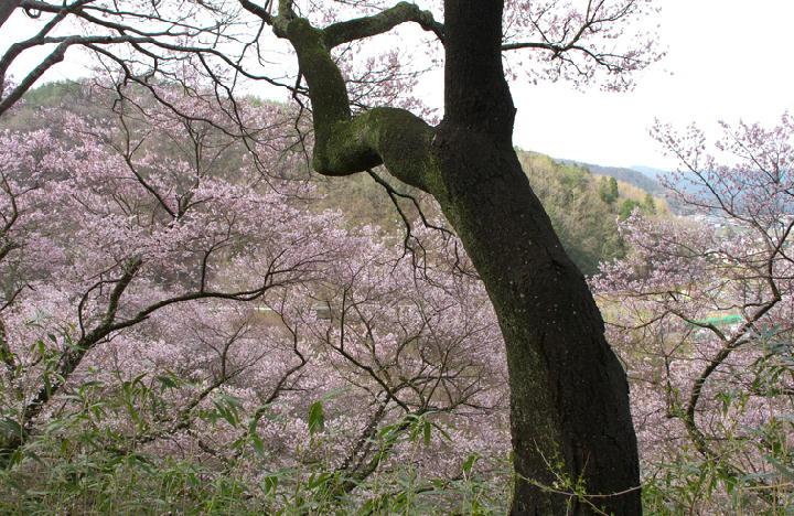 高遠の桜-807