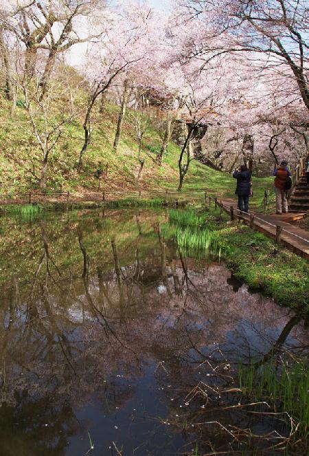 高遠の桜-855