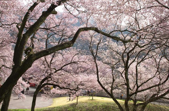 高遠の桜-818