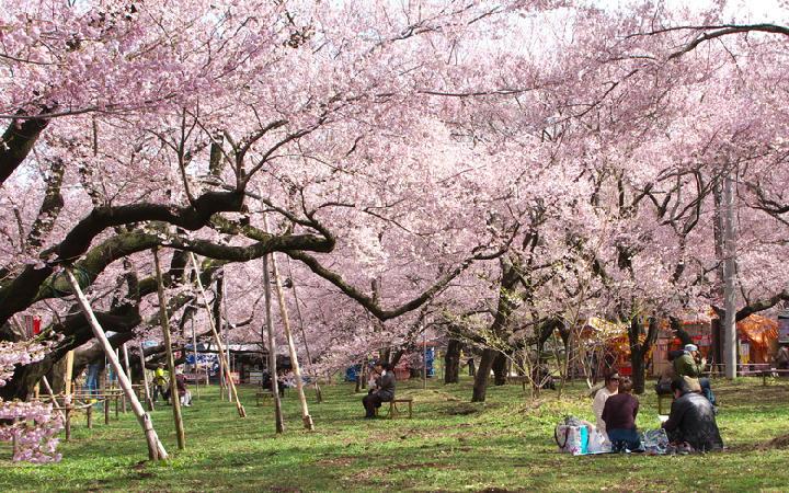 高遠の桜-865