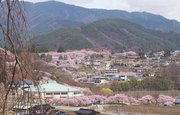 桜の里-893