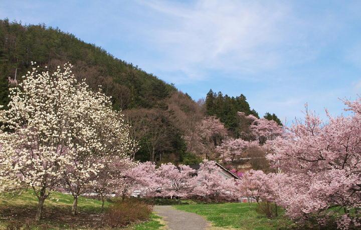 桜の里-900