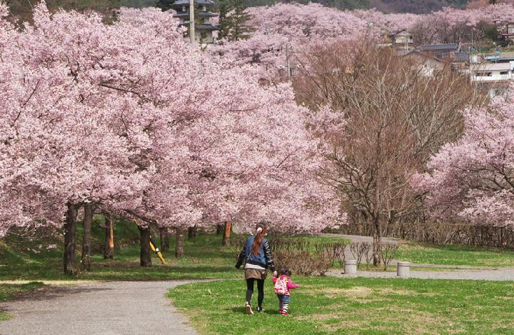 桜の里-908