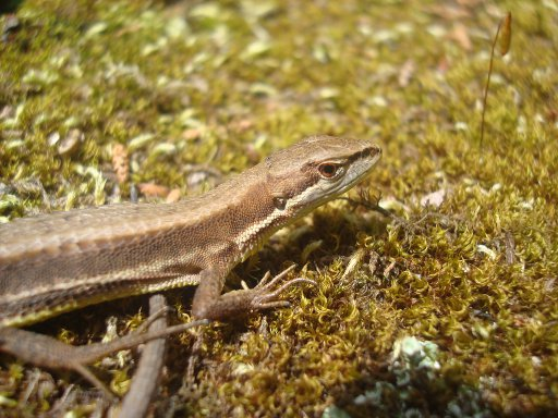 grass-lizard-3.jpg