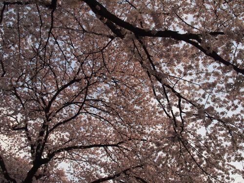 P3310368sakura.jpg