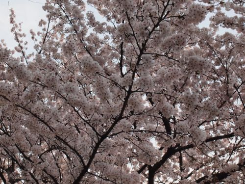 P3310373sakura.jpg