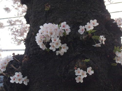 P3310378sakura.jpg