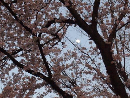 P3310382sakura.jpg