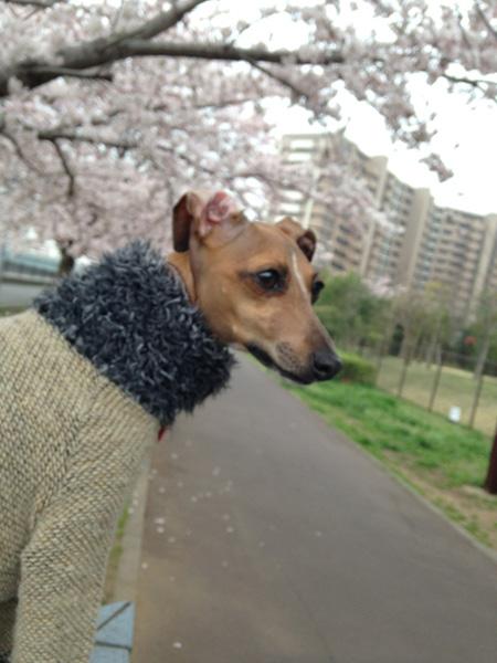 2015桜とジル子3