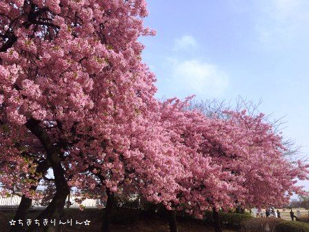 河津桜 お実家①