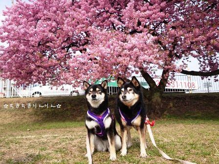 河津桜 お実家③