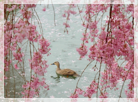 photo626 2015桜_2_1