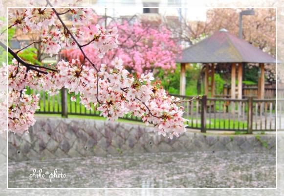 photo626 2015桜_2_2