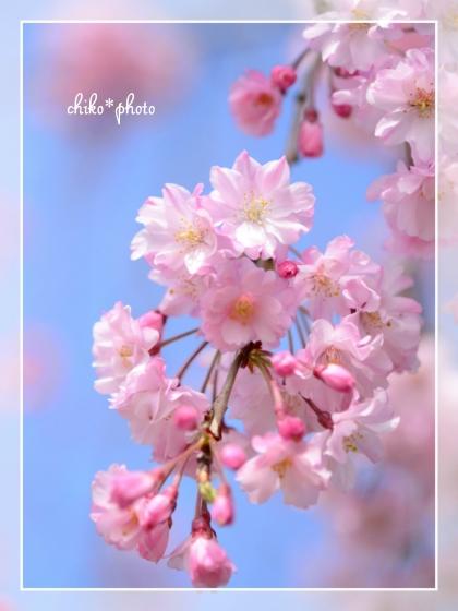 photo627 青空に桜。
