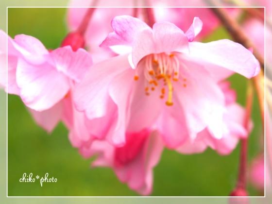 photo628 つぼみと桜。2