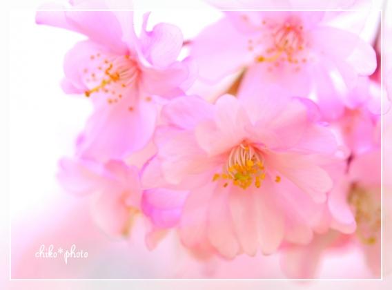 photo630 桜、ふわり。