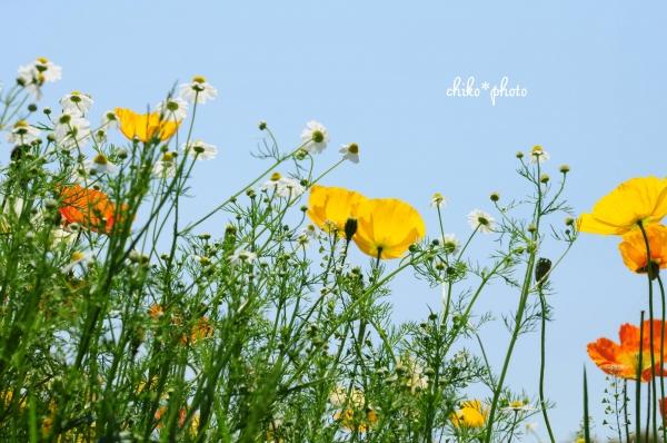 photo-653 ポピーと草花