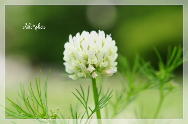 photo-657 春~初夏の草花 シロツメクサ1_1