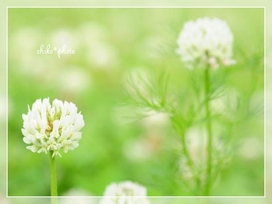 photo-658 春~初夏の草花 しろつめなぐさ2_2