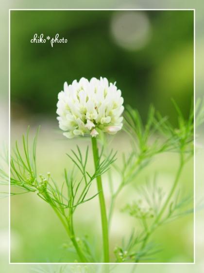 photo-657 春~初夏の草花 シロツメクサ1_2
