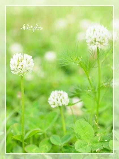 photo-658 春~初夏の草花 しろつめなぐさ2_1